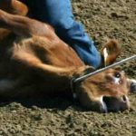 """""""Selo verde"""" encobre maus-tratos a animais nos rodeios"""
