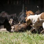Animais famintos são flagrados devorando cão em canil de Gravataí (RS)