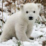 Jude Law, Radiohead e um urso polar em campanha do Greenpeace