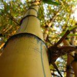 Por que o bambu é ecológico?