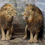 Four Paws resgata leões e identificam maus-tratos em zoológico na Sérvia