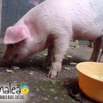 O 2º veganique terá a participação especial do porquinho Lorenzo