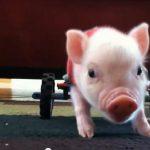 Chris P. Bacon: o porquinho senciente mais famoso da web