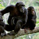 Grandes Primatas: o declínio alarmante das espécies