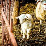 ONG Animal Equality realiza investigação em matadouro de filhotes de cordeiros