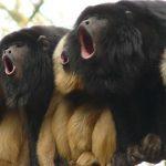 Desmatamento em Taubaté está destruindo lar de primatas