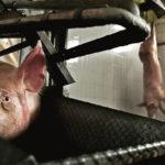 Criador de porcos explica que é errado matar animais