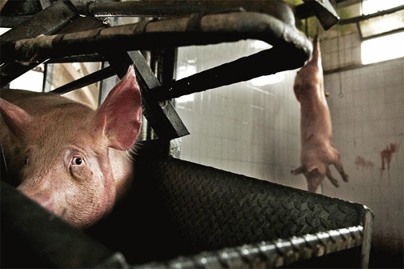 criador-porcos-admite-que-errado-matar-animais