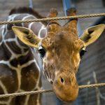 Nota sobre o assassinato do filhote de girafa em Zoo na Dinamarca