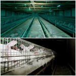 Ativistas italianos libertam coelhos e expõem bastidores da indústria