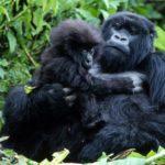 Petroleira é impedida de explorar em habitat de gorilas ameaçados