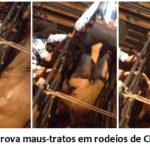 Vídeo comprova maus-tratos em rodeios de Chapecó (SC)