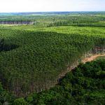 O monocultivo do eucalipto parece floresta, mas não é!