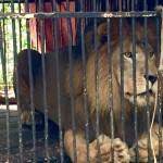 Santuário brasileiro salva mais um leão maltratado em circos