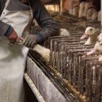 Foie gras é proibido em Sorocaba (SP)