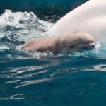 SeaWorld: filhote de baleia-branca morre no parque