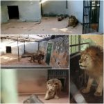 CQC tenta salvar leão explorado em Zoológico de Brasília