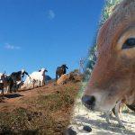 Santuário das Fadas pede ajuda para salvar cães, gatos, bois e porcos