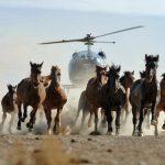 Cavalos selvagens são capturados e mortos pelos Estados Unidos