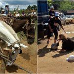 Puxada de cavalos foi proibida pela Alesc, governador precisa aprovar