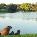 ALESP promove audiência pública sobre a matança de capivaras