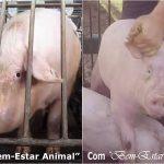 """Investigação mostra que selos de """"bem-estar animal"""" são uma farsa"""