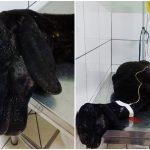 Ovelha é resgatada de matadouro clandestino em Campinas (SP): ajude!