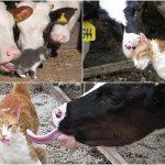 Você sabia que é proibido dar leite de vaca para gatos?
