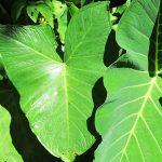 Taioba uma folha nutritiva e saborosa