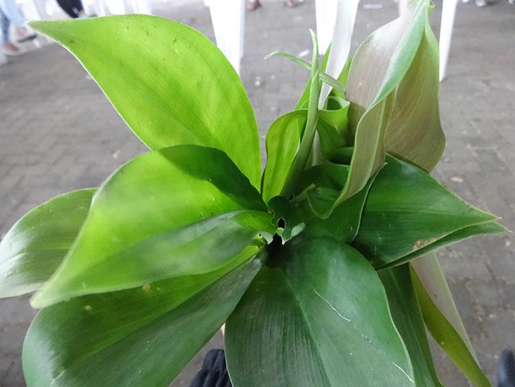 caninha-do-brejo-costus-rins-medicina-popular-pancs-plantas-alimenticias-nao-convencionais-horta-ecologia
