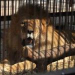 Histórico: 33 leões são salvos da escravidão em circos na América do Sul