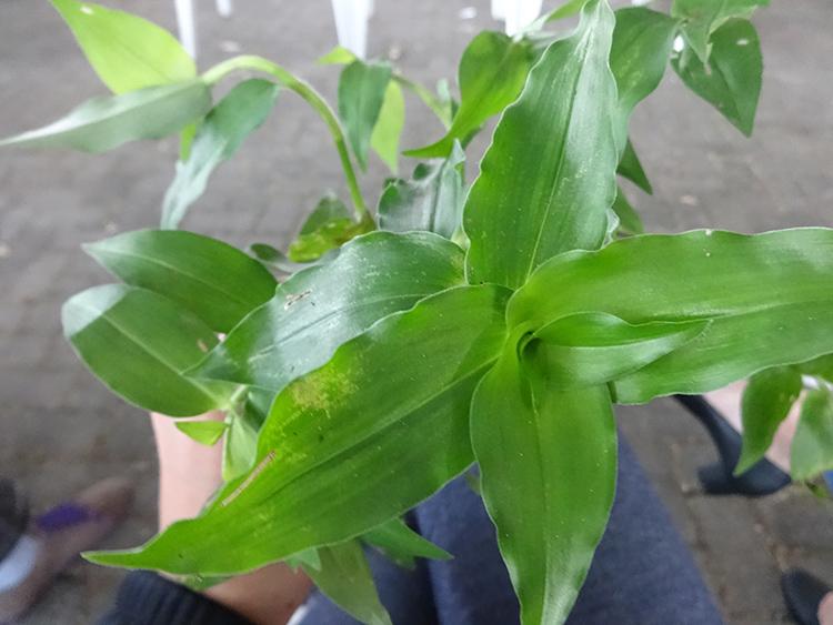 trapoeraba-pancs-plantas-alimenticias-nao-convencionais-vegetarianismo-ecologia