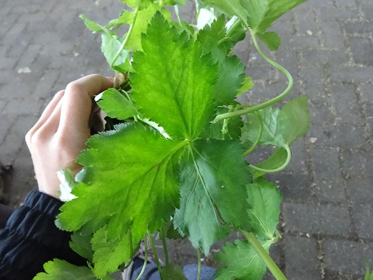 trifolio-Erva-tempero-salsinha-pancs-plantas-alimenticias-nao-convencionais-vegetarianismo