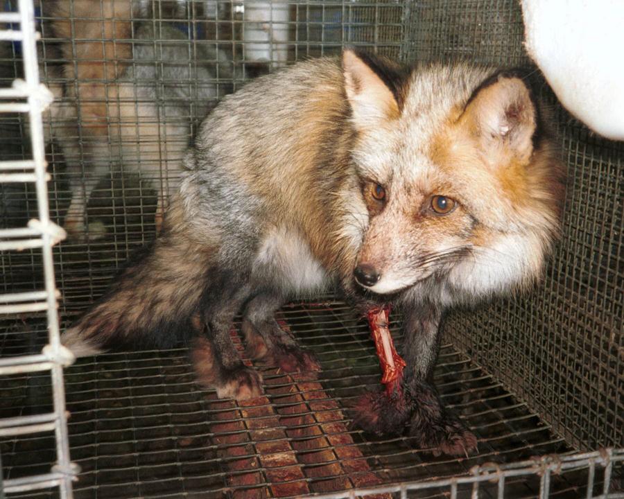 fazenda-pele-animal-couro-maus-tratos-animais-direitos-especismo-libertacao-animal-no-fur-raposas-vegetarianismo-veganismo-dieta