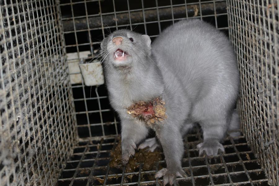 fazenda-pele-couro-animal-mink-raposas-lobos-furao-couro-especismo-libertacao-animal-veganismo-vegetarianismo-maus-tratos