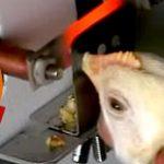 Mercy For Animals recebeu 1 milhão de dólares para fazer campanhas não-veganas