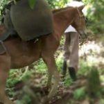 Harald (Melken) utiliza mulas e burros para transporte de cacau