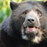Urso ganha Habeas Corpus e é libertado de Zoológico Colombiano